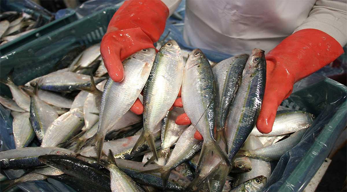 Establece Sader tallas de captura de pelágicos menores en el Océano Pacífico y Golfo de California
