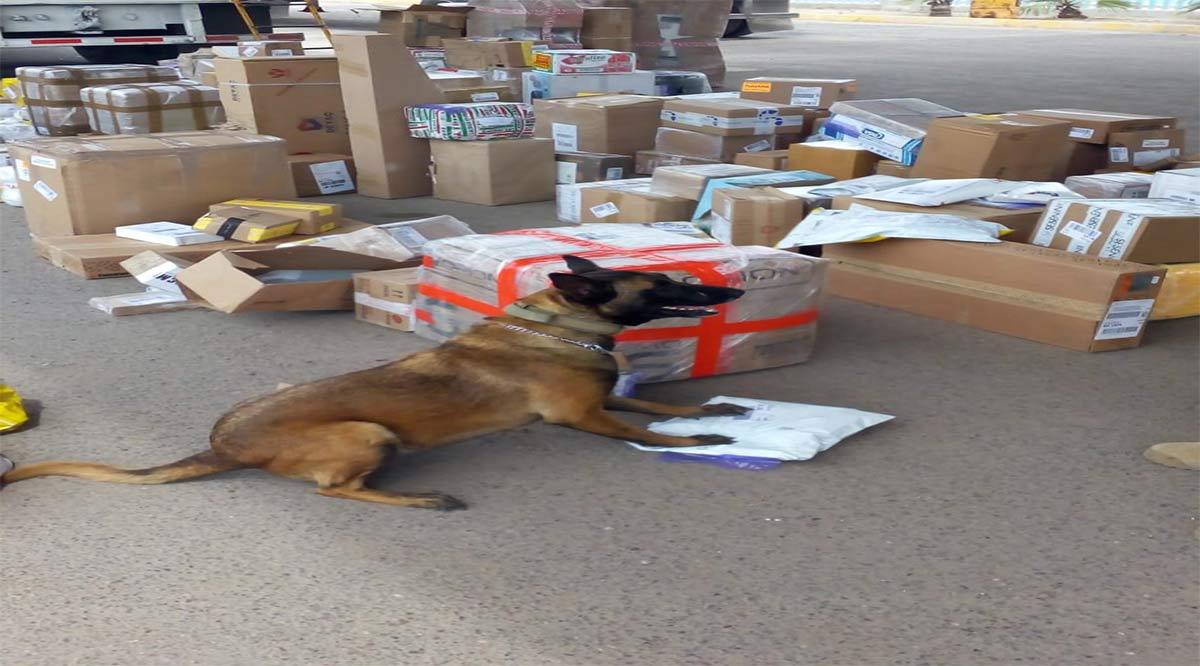 Más de 74.5 kilos de narcóticos encubiertos ha detectado la Unidad Canina en el primer semestre del 2020