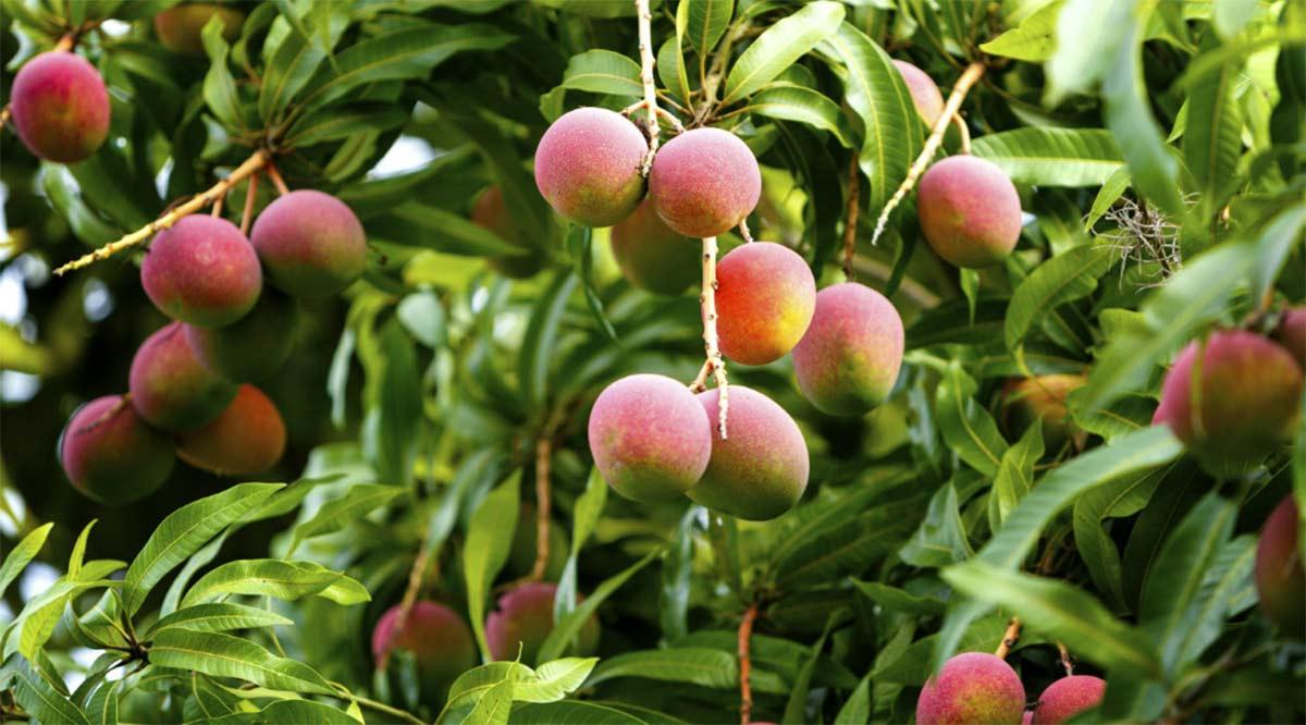 Se producen en BCS más de 6,600 toneladas de mango al año