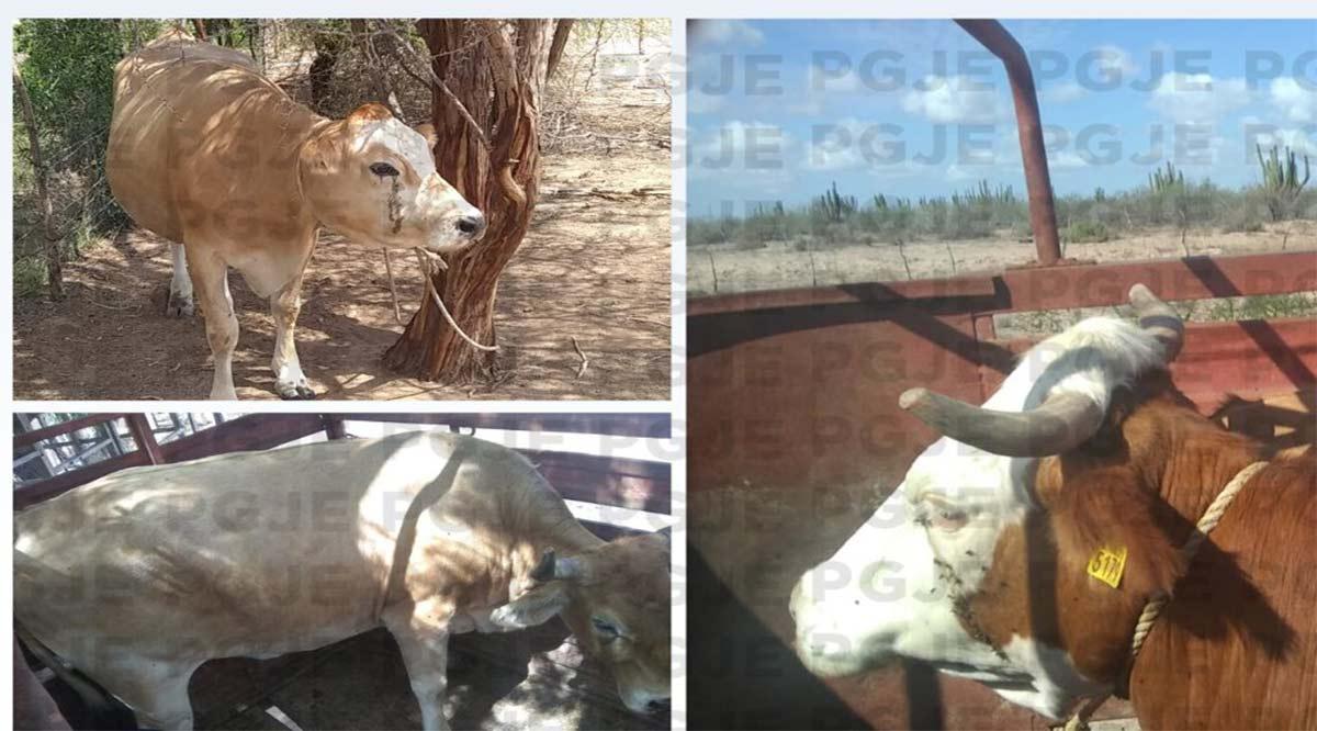 Recuperan 3 bovinos reportados como robados en Comondú
