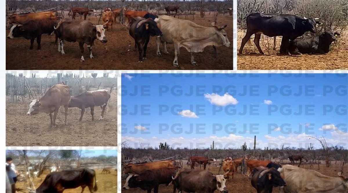 Aseguran 12 piezas de ganado al norte de BCS