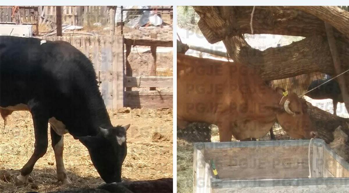 Recuperaron tras cateo dos bovinos en San Ignacio