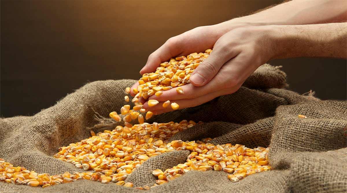 Apoya Sepada con 1.2 toneladas de semilla de maíz a pequeños productores de Loreto