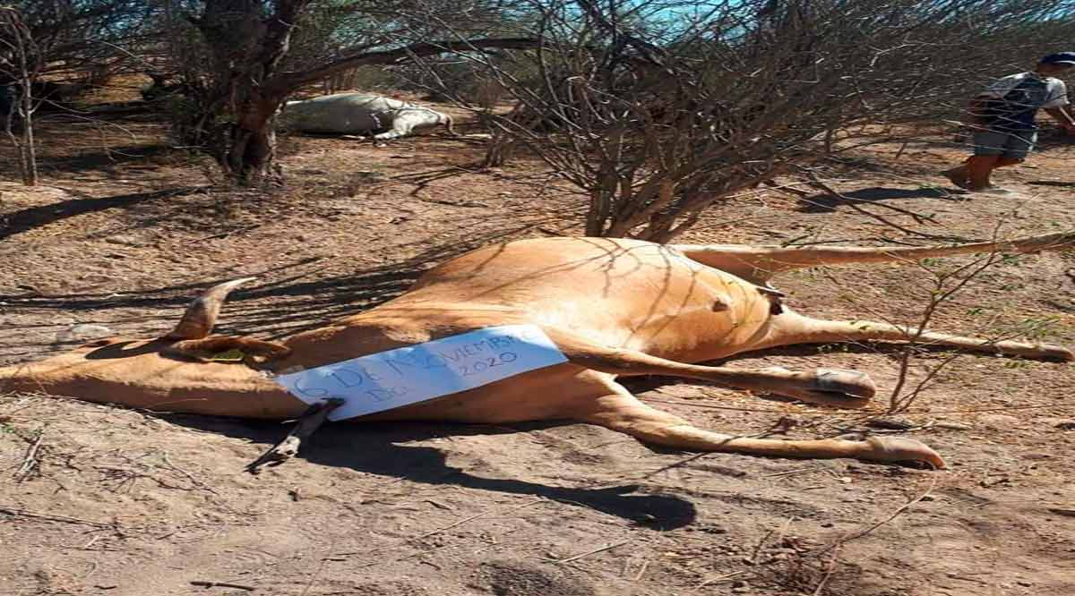 Analizan mortandad repentina de ganado en Comondú
