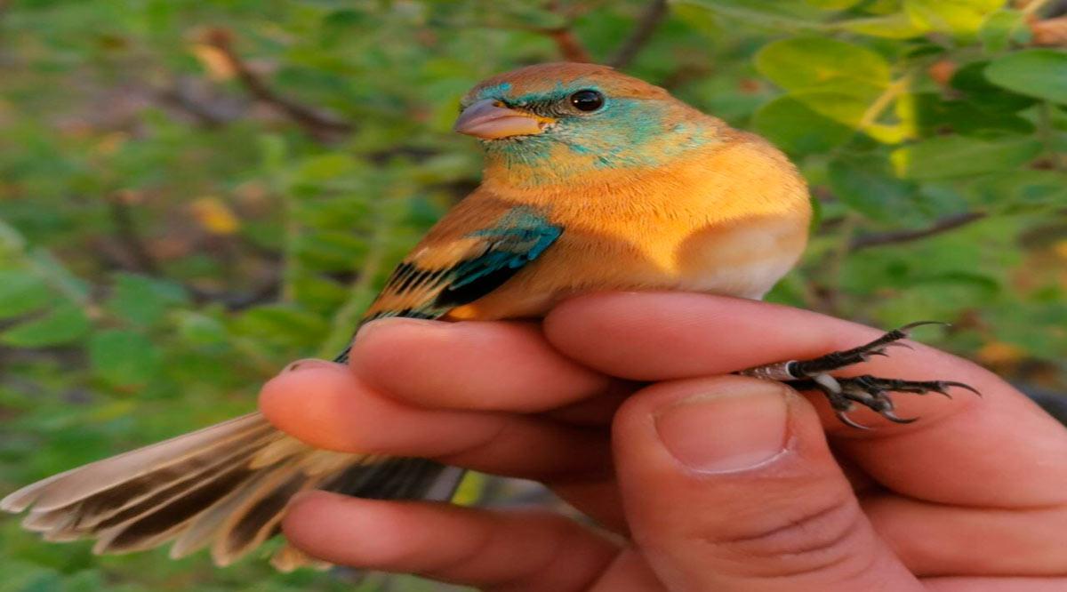 Abre UABCS primera estación de anillamiento de aves migratorias en BCS