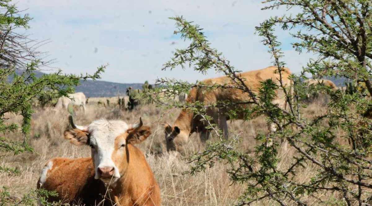 Buscan regular el ganado suelto en Loreto