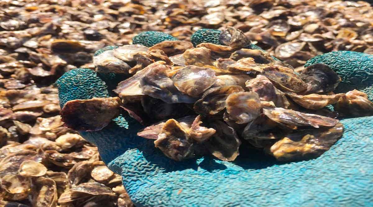 Entregaron 800 mil semillas de ostión a par de proyectos acuícolas de Comondú