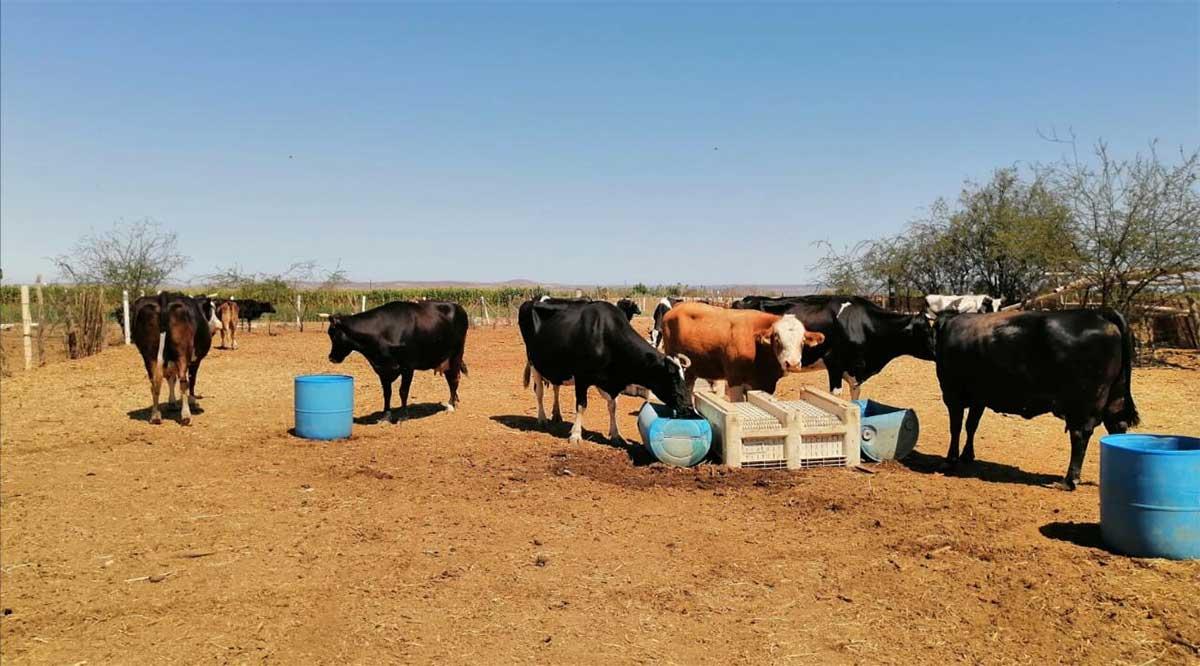 Entregan apoyos contra la sequía a ganaderos de Comondú