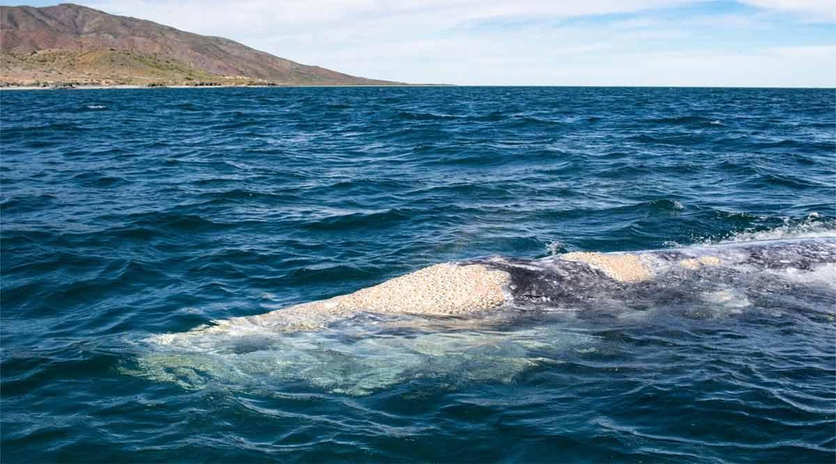 Concluye en abril la temporada de avistamiento de ballenas