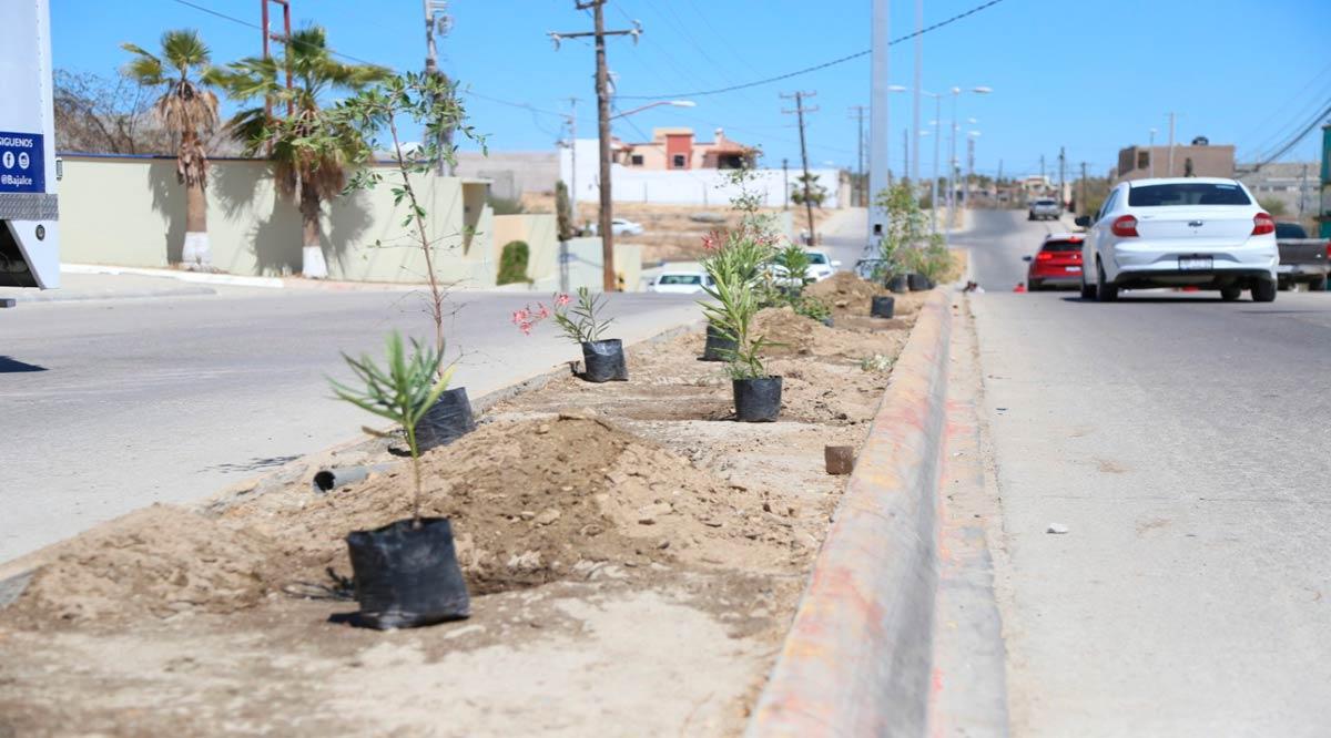 Se han plantado más de 1,500 ejemplares de diferentes especies en camellones de Los Cabos