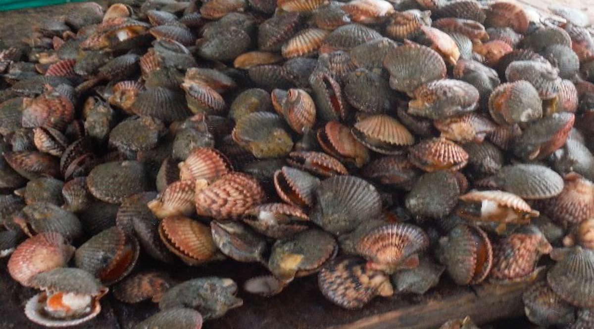 Podría abrirse período de extracción de almeja catarina en Bahía Magdalena