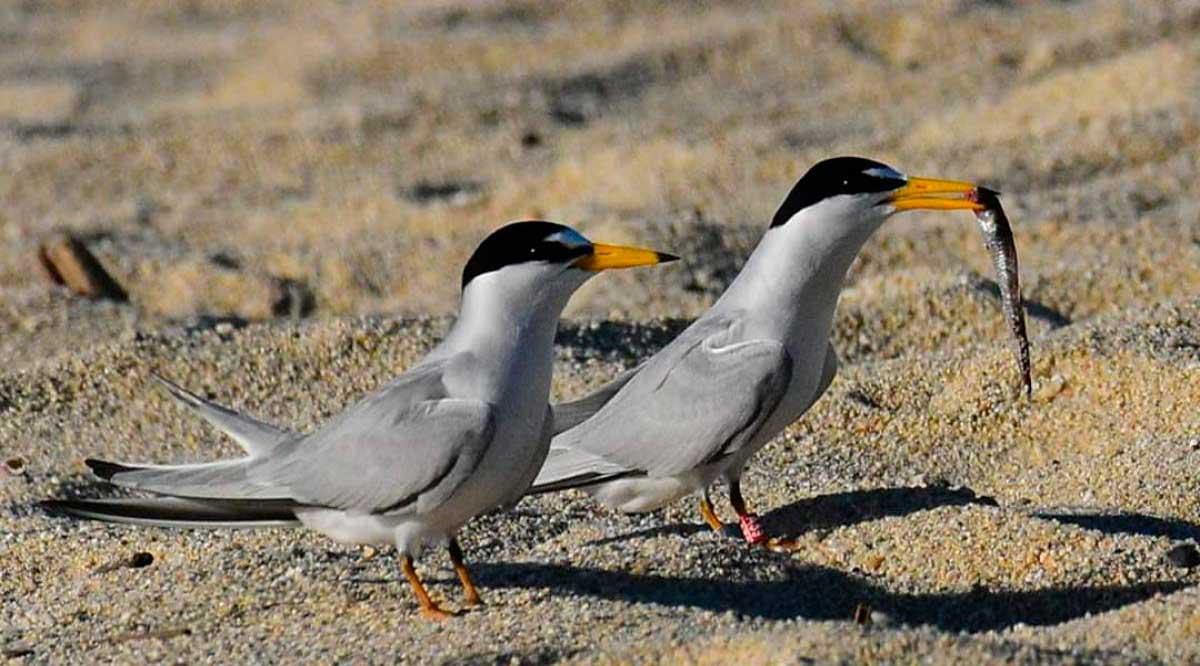 Garantizan la protección del gallito marino en el Estero de San José del Cabo