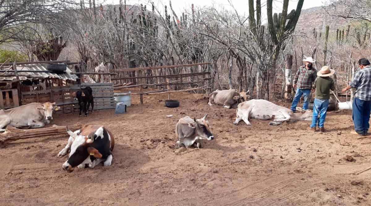 Hacen proselitismo legisladores de BCS con la mortandad de ganado por la sequía