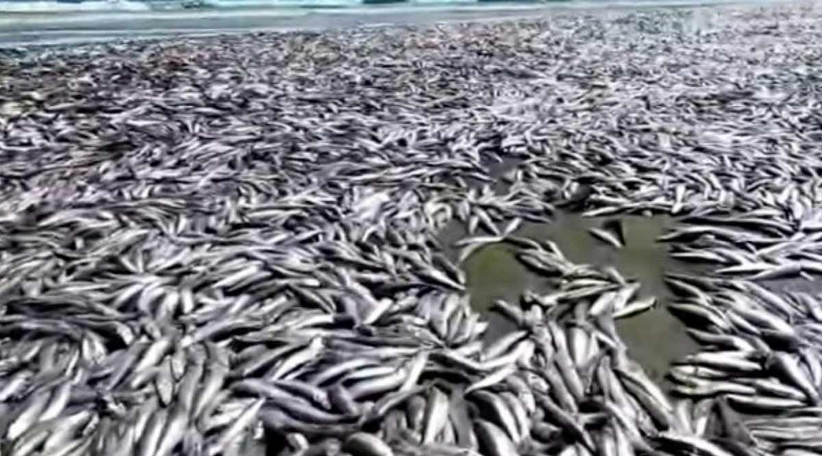 Varamiento de sardinas en el norte de BCS fue provocado por altas temperaturas del mar