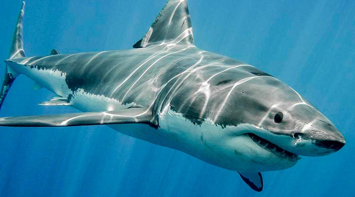 Realizan los tiburones un papel trascendente en el ecosistema marino