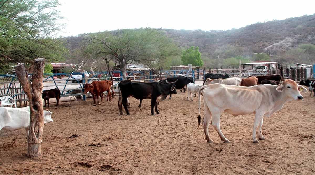 Se atenderá a ganaderos de BCS en regiones donde se mantienen condiciones de sequía: Sepada