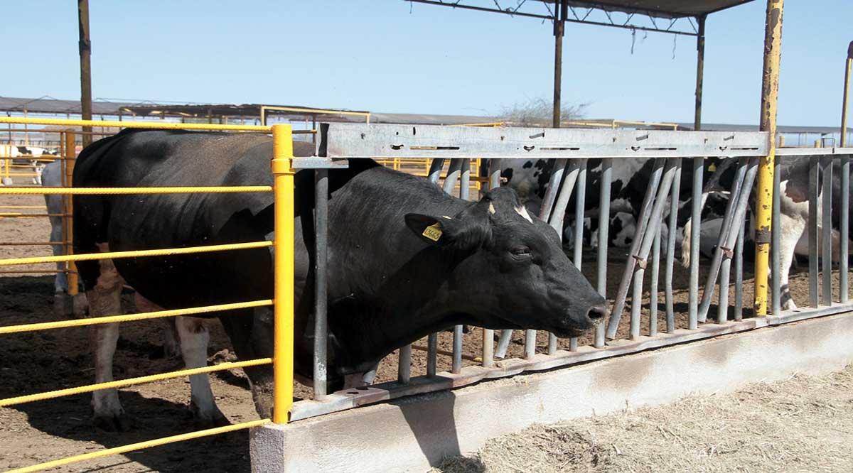 Se impulsará en BCS la sanidad animal en el sector ganadero